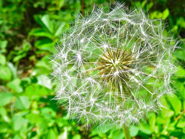 Dandelion_head, the_Word_of_God, Flowers_fade, grass_withers, Gods_word_remains, Gods_word_is_eternal