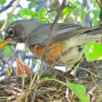 2  baby _robin, open_beaks, mother_robin