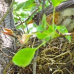 6  mother_robin_with_babies