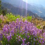 Penstemon on the rim of Hells Canyon
