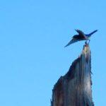 Western bluebird ready for takeoff