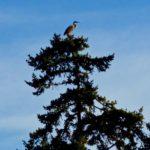 great_blue_heron, Lopez_Island, San_Juan_islands
