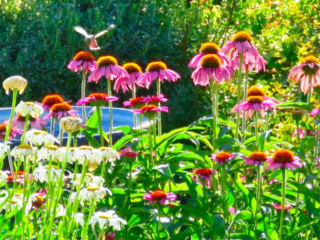 hummingbird hovering over echinacea