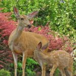 Union_County_OR, backyard_deer, doe_and_fawn