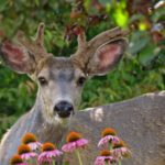 backyard_buck, Union_County