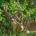 buck_deer_together, Union_County_OR, two_bucks, mirror_Image_bucks