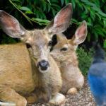 doe_and_fawn, Union_County, backyard_deer