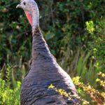 wild_turkey, Union_County_OR