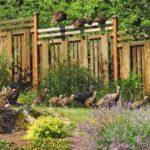 wild_turkeys, La_Grande_OR, wild_turkeys_in_backyard