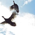 wild_turkeys_in_flight, backyard_turkeys