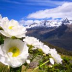 Mt_Cook_lilies_Routeburn