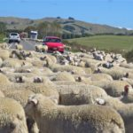 New Zealnd sheep herding