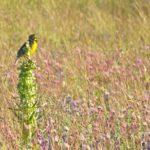 Zumwalt Prairie meadow lark