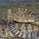 coliled rattlesnake