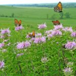 prairie butterflies J1_2