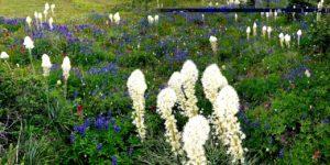 Bear Grass in Snow Grass Flat, Goat Rocks Wilderness