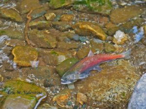 Kokanee in the Wallowa River