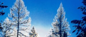 Rime frost tamarack