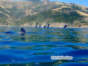 Akaroa, Hectors dolphin