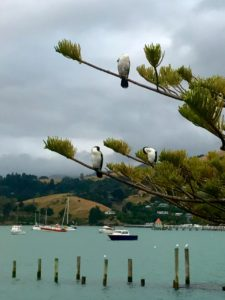 Cormorants at Akaroa Harbor