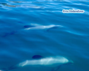 Akaroa, Hectors dolphins
