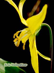 glacier lily MERA