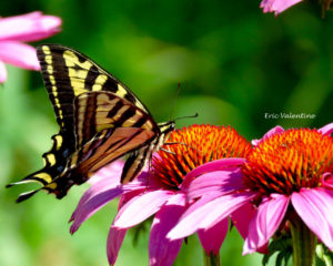 Swallowtail drinking nectar wm
