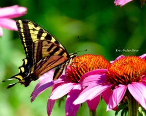 Swallowtail drinking nectar wm