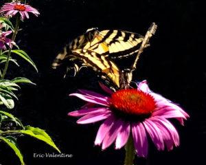 Swallowtail dance, echinacea