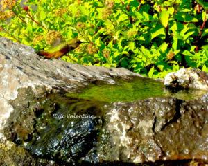 hummingbird over water