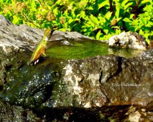 hummingbird seeking water