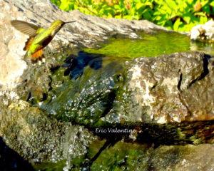 hummingbird and water