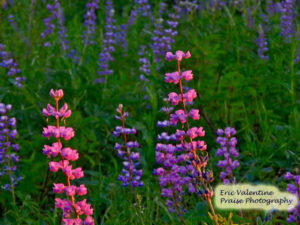 Hells Canyon lupine in the early morning light