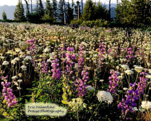 Hells Canyon wildflowers