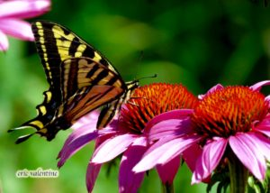 Swallowtail on echinacea
