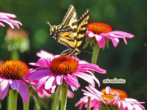 swallowtail echinacea