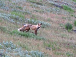 Wallowa county fox