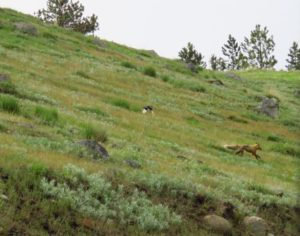 Bird chasing fox magpie chasing fox wallowa county