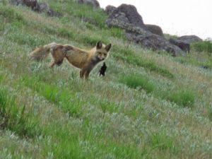 Fox and bird wallowa county