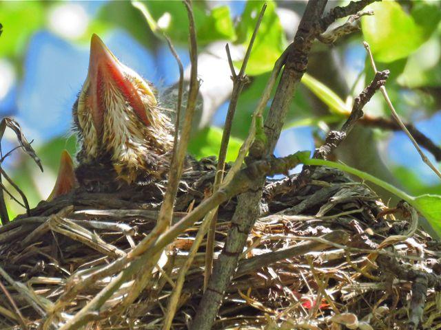4 baby robin