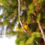 Wallowa county hat point hells canyon femaile western tanager
