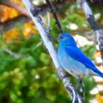 Wallowa county hat point hells canyon mountain bluebird
