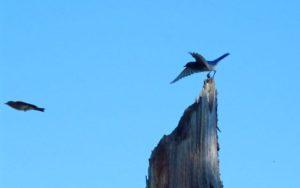 Wallowa county hat point hells canyon mountain bluebird flight
