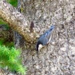 Wallowa county hat point hells canyon pygmy nuthatch