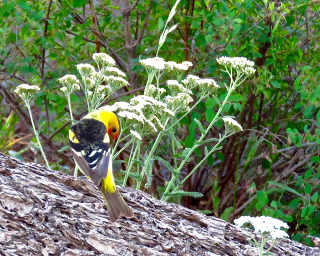 Wallowa county saddle creek campground oregon hat point hells canyon western tanager