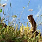 Ground squirrel saddle creek campground oregon wallowa county hat point hells canyon