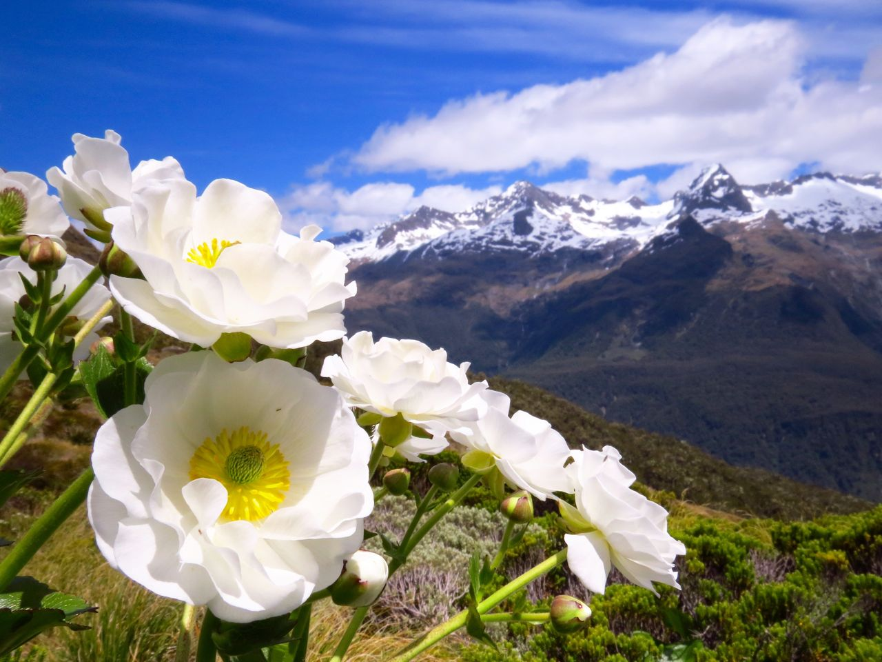 Mt cook lilies routeburn