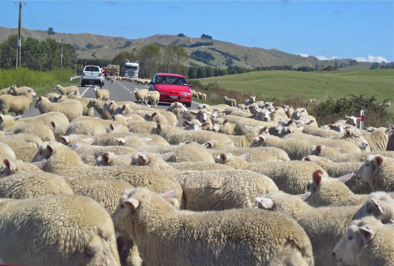 New zealnd sheep herding
