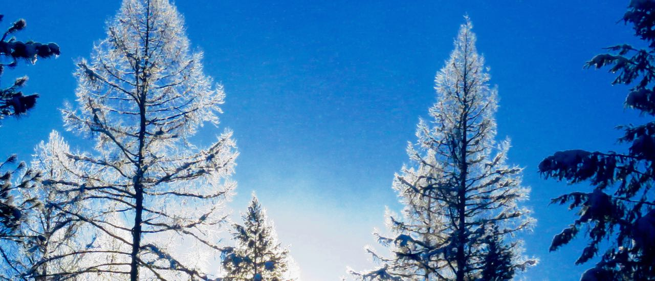 Tamarack trees in rime frost