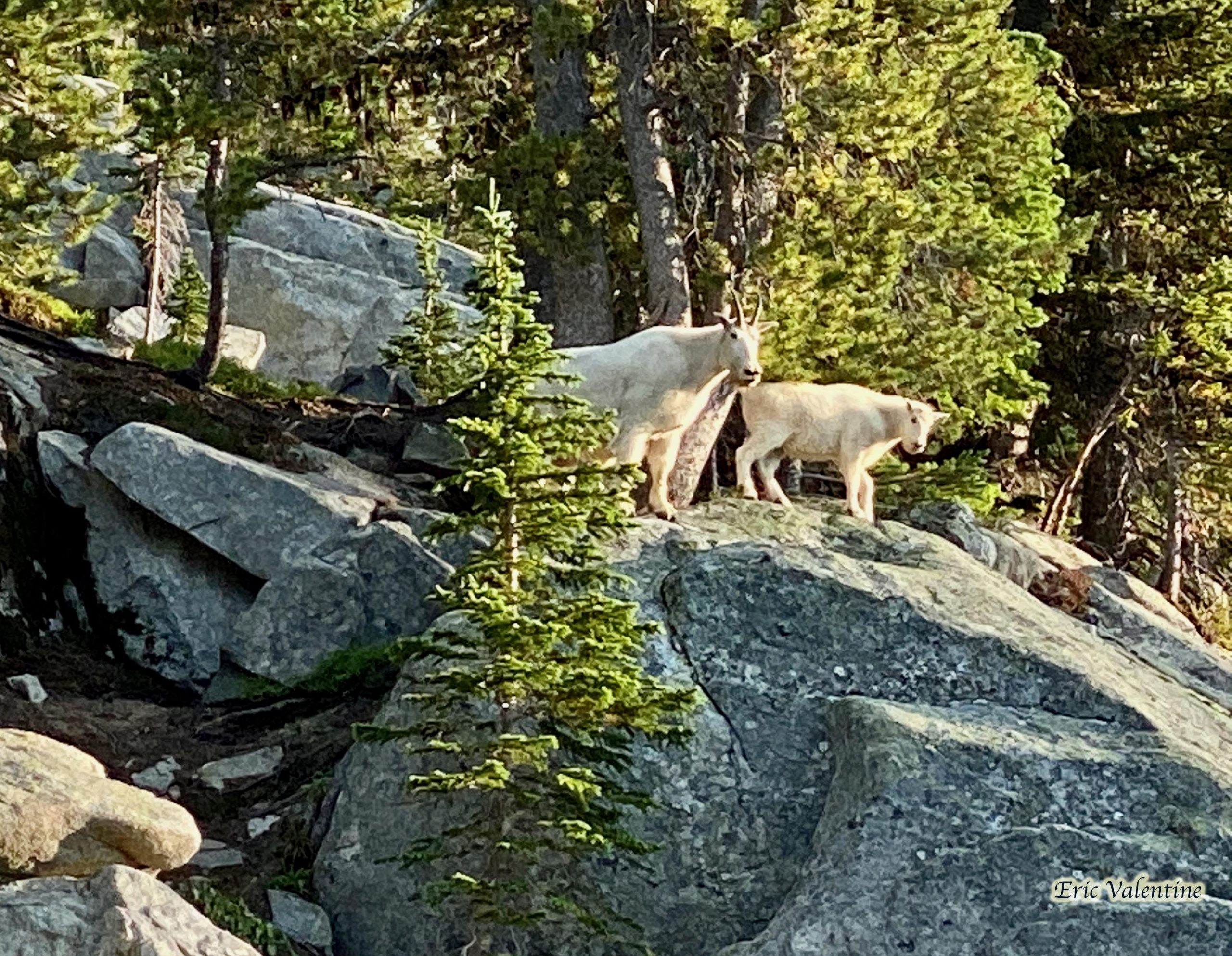 Mountain goats 2 scaled
